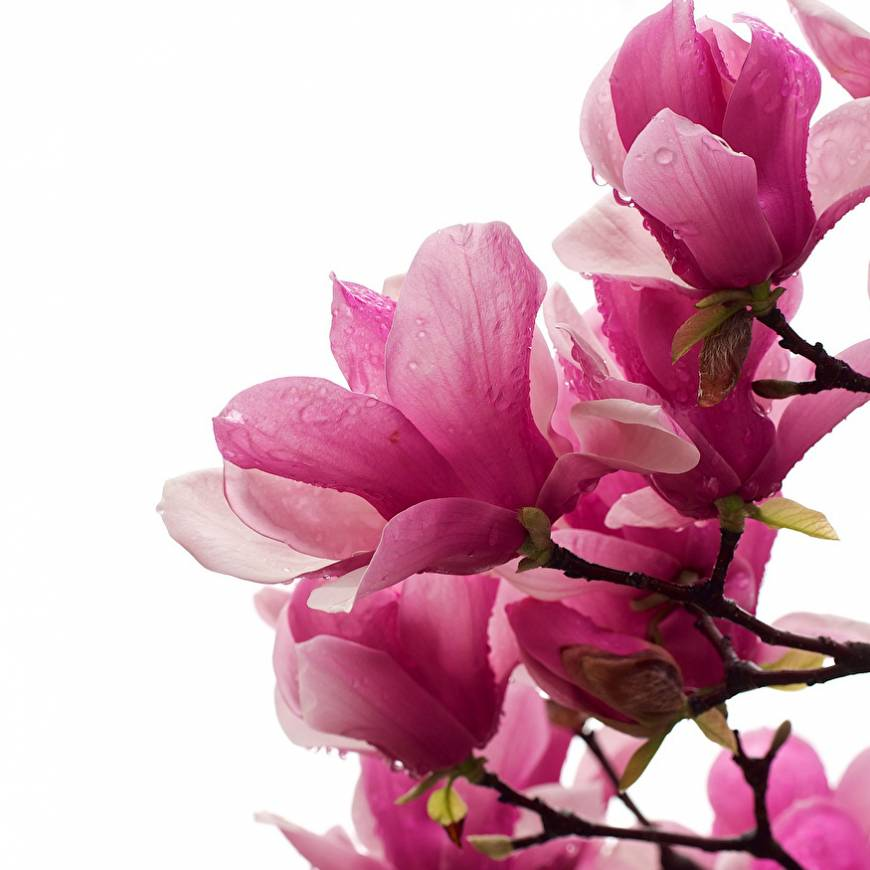 MagnoliaPink.jpg